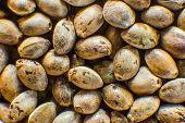 Organic Hemp Seed. Close Up. Macro Detail Of Marijuana Seed. Hemp Seeds Background In Macro. Many Ca poster