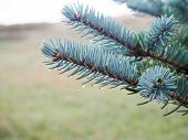 Fir Tree Brunch Close Up. Shallow Focus. Fluffy Fir Tree Brunch Close Up. Christmas Wallpaper Concep poster