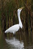Great Egret swallowing fish