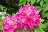 Close up of a vivid pink rhododendron flowering.  poster