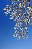 winter snow branches of tree on a blue sky background