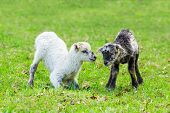 Two Newborn Lambs Play Together In Green Pasture During Spring Season poster