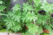 Citronella Plant Are Natural Mosquito Repellent With It Scented Nature poster