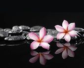 Still life with two frangipani on zen stones reflection