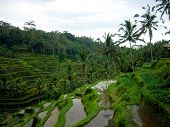pic of wett  - A terrace rice plantation for growing food on Bali - JPG