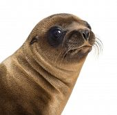 Close-up of a Young California Sea Lion, Zalophus californianus, 3 months old against white backgrou