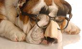 Bulldog With Groucho Marx Glasses