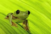 frog of tropical Amazon rain forest treefrog Agalychnis spurrelli is the flying or gliding rainforest tree frog