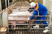 Pig ultrasound diagnosis after artificial insemination fertilization at agriculture reproduction far