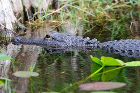 pic of gator  - Alligator closeup in wild in Gator Park in Miami - JPG