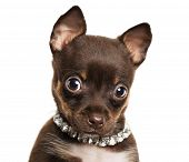 Cute Little Chihuahua Dog