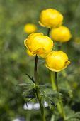 Globe-flower (Trollius europaeus)