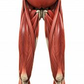 stock photo of upper thigh  - Upper Legs Muscles Anatomy  - JPG