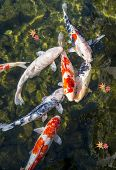 Koi pond in Nagoya, Japan.