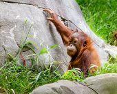 Portrait of baby orangutan (Pongo pygmaeus)