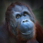 stock photo of primitive  - Happy smile of The Bornean orangutan  - JPG