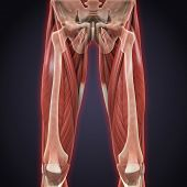 image of upper thigh  - Illustration of Upper Legs Muscles Anatomy - JPG