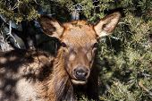 Mule Deer At Grand Canyon