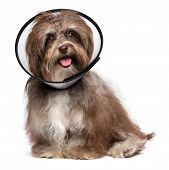 Happy Grateful Havanese Dog Is Recovering And Wearing A Funnel Collar