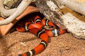 Sinaloan Milk Snake