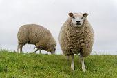 Texel sheep on dyke at Dutch wadden island