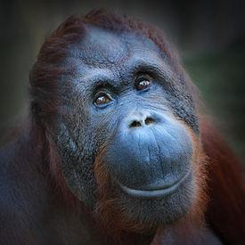 foto of orangutan  - Happy smile of The Bornean orangutan  - JPG