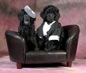 image of standard poodle  - dog couple  - JPG