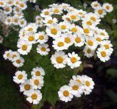 image of feverfew  - The lovely daisylike white flowers of the feverfew not only look beautiful because they cluster together making them naturally look like a bouquet but they are also used as herbs - JPG
