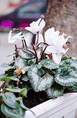White Primula Flowers In Pot