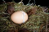Little unborn chick zipping through his egg shell to hatch