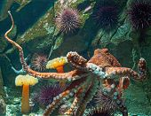 foto of octopus  - Giant Pacific octopus  - JPG