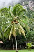 Large Coconut Palm Tree