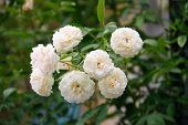 Panicle White Rose