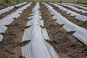 Strawberry Field, Plants Growing Under Black Pastic Sheets, India