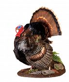 stock photo of turkey-cock  - taxidermy of a male  - JPG