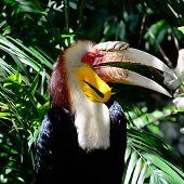 Wresthed Hornbill