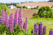 Lupins growing wild  and flowering along the roadsides and streams or rural Prince Edward Island, Ca