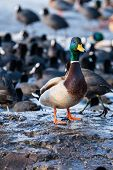 foto of male mallard  - Wild male Mallard duck over coots in winter time.