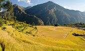 stock photo of nepali  - yellow rice fields and village in Nepal - JPG