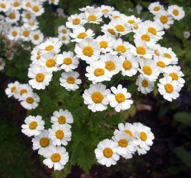stock photo of feverfew  - The lovely daisylike white flowers of the feverfew not only look beautiful because they cluster together making them naturally look like a bouquet but they are also used as herbs - JPG
