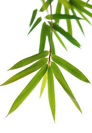 image of bamboo leaves  - a close shot of green bamboo leaves - JPG