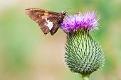moth on a thistle flower