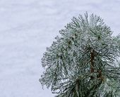 Frozen Pine Needles On White.