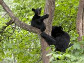 Black Bear Cub and Mom in Tree