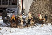 Group of free range chickens near hay storage in snow covered farmyard