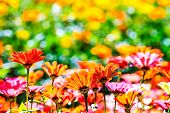 stock photo of chrysanthemum  - Colorful pink autumnal chrysanthemum in the Garden for adv or others purpose use - JPG