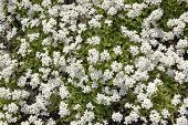 White Myosotis Spring Background