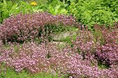 Breckland thyme, wild thyme