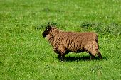 foto of suffolk sheep  - Suffolk Sheep is feeding on the grass in France - JPG