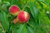 Ripe Peach With Green Leaf
